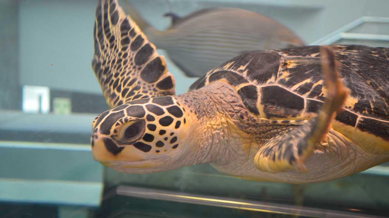 奄美海洋博物館のウミガメの写真