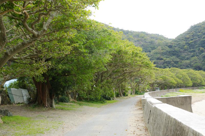 加計呂麻島のでいご並木