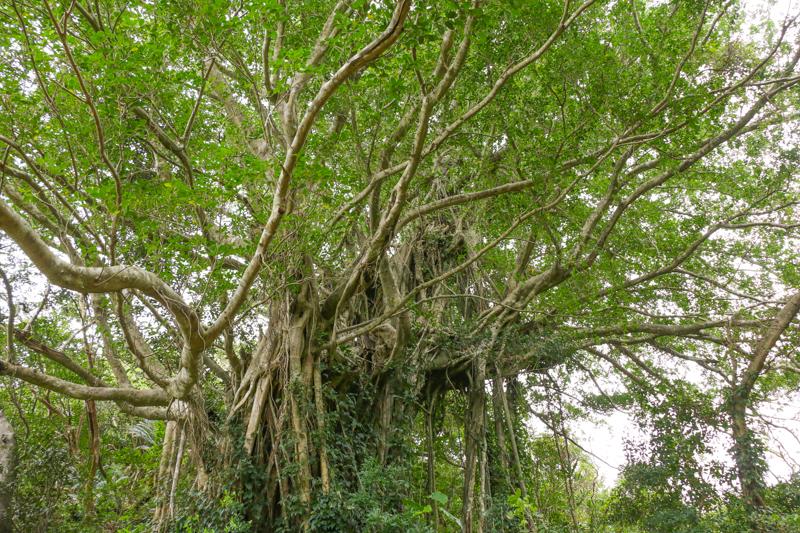 武名集落にある大きなガジュマルの木
