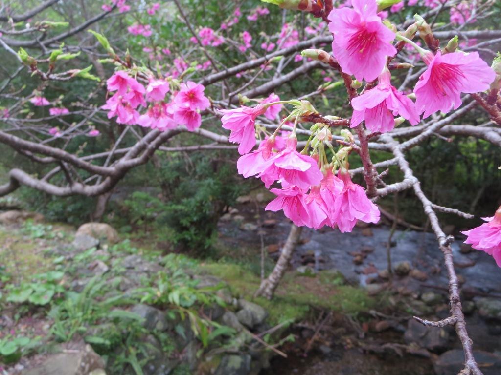 奄美大島の名物緋寒桜