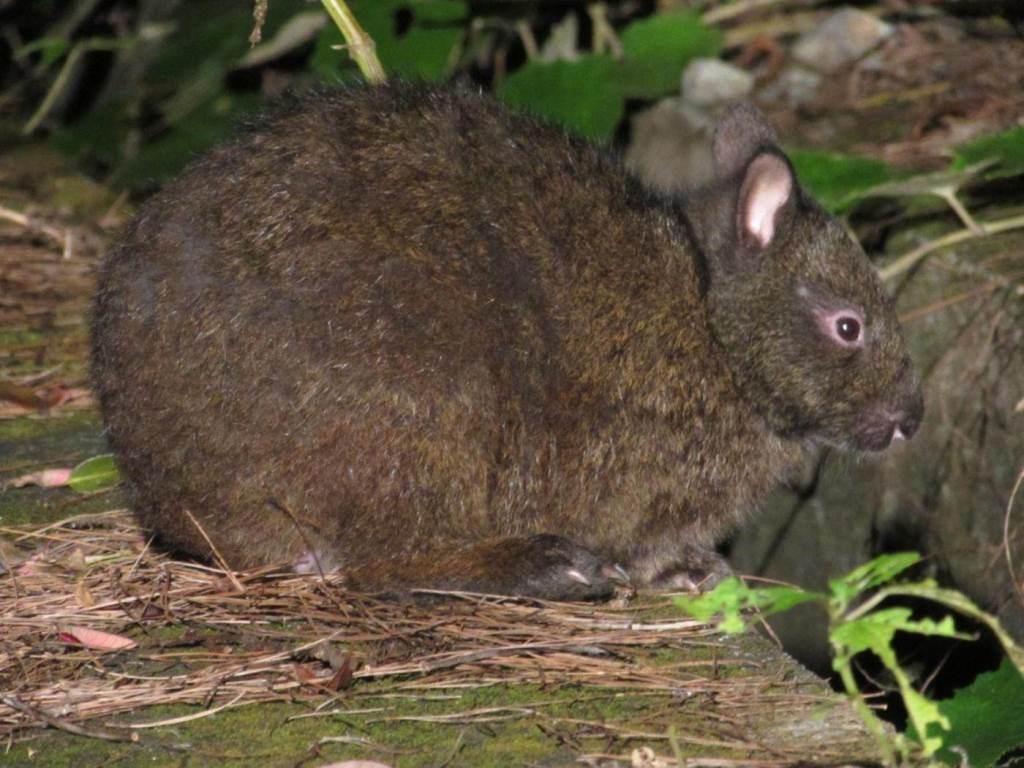 奄美の天然記念物「アマミノクロウサギ」