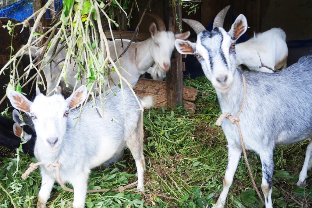 飼育されている奄美の子ヤギ