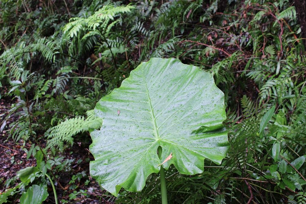 奄美の金作原クワズイモの葉とシダ類
