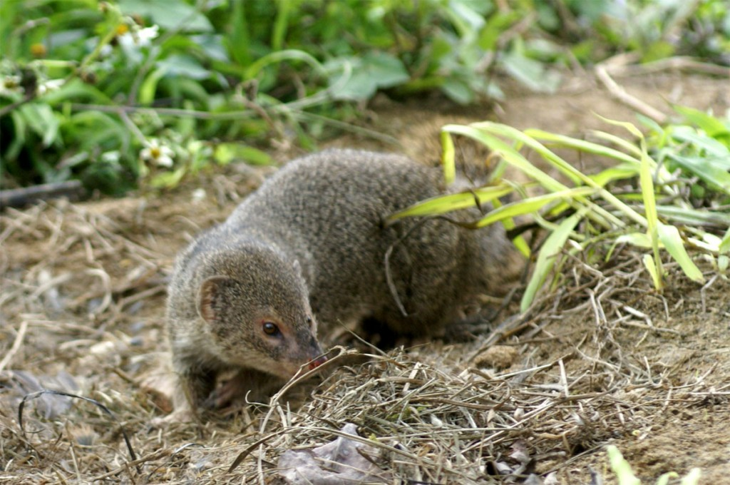 The Small Indian mongoose, invasive species