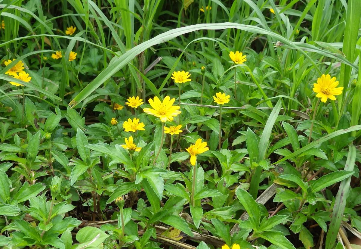 在来種の植物をおしのけるアメリカハマグルマIMGP1085