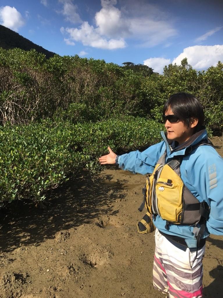 奄美大島のマングローブのメヒルギ