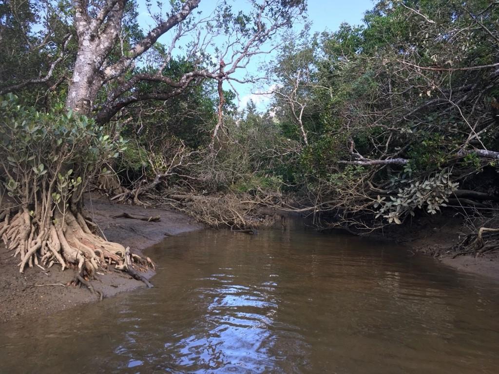 干潮時の奄美大島マングローブ林