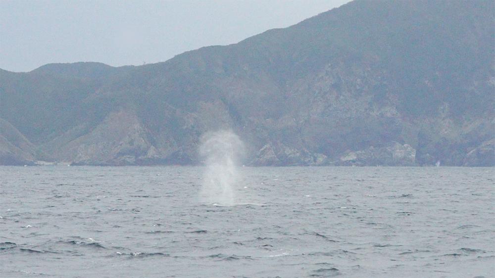 奄美で見られるクジラの潮吹きブロー