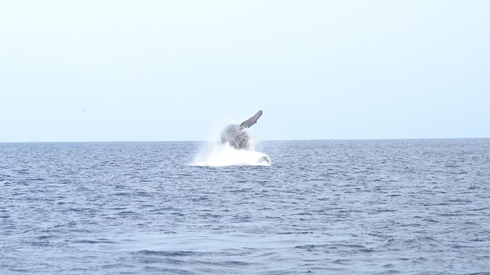 背中から海へダイブ・ブリーチするクジラ