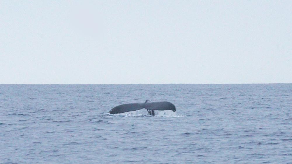 フルークアップ&ダウン中のクジラの尾びれ