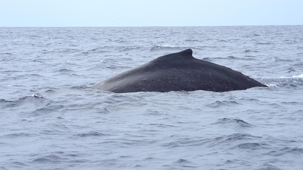 奄美大島で見られるクジラ