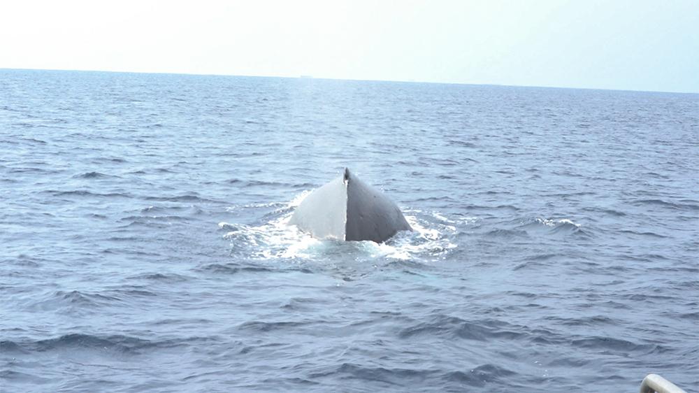奄美でホエールウォッチング コホロ ザトウクジラ