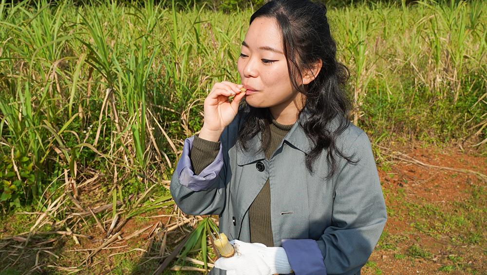 奄美大島 宇検村 開運酒造 サトウキビ サトウキビ刈り 黒糖焼酎 れんと 体験プログラム amami
