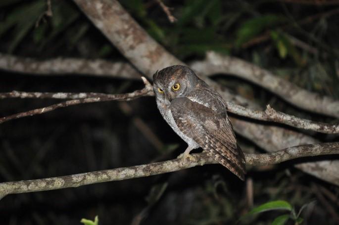 夜の森で獲物を探すリュウキュウコノハズク
