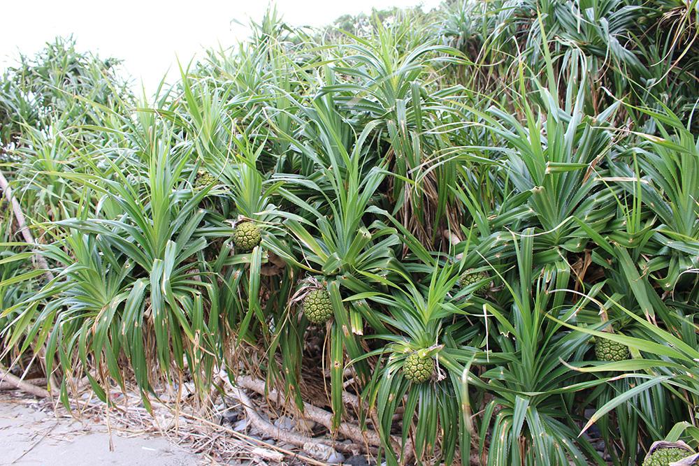 ターバマの玉石ビーチに自生するアダンの林