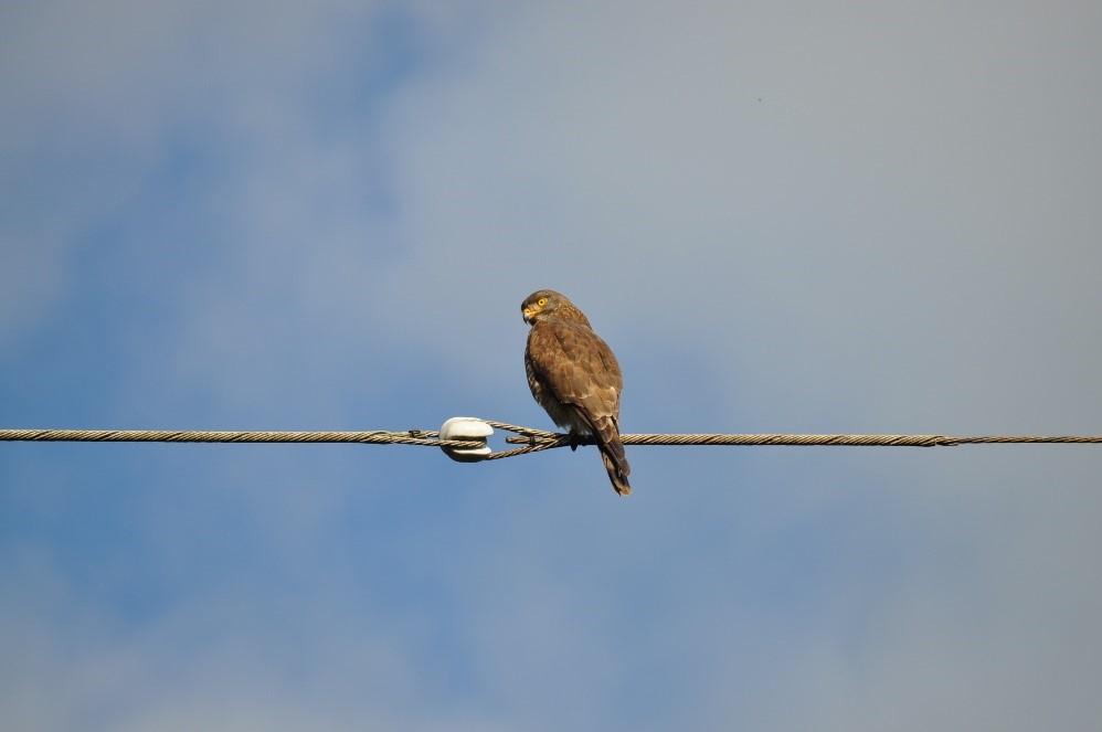 奄美群島で越冬する代表的な冬鳥のサシバ