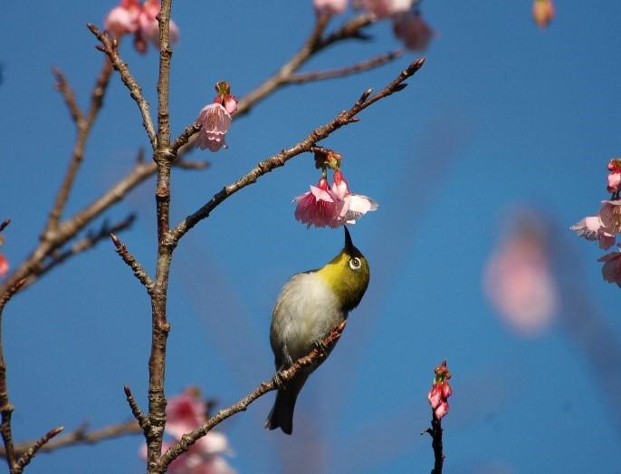 奄美大島のヒカンザクラの花の蜜を吸うメジロ