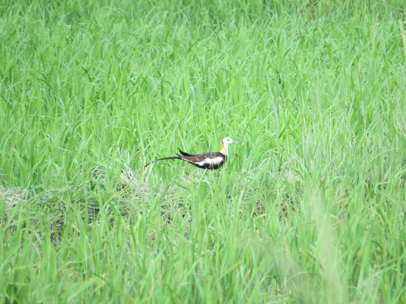 渡りの時期に見られためずらしい鳥のレンカク