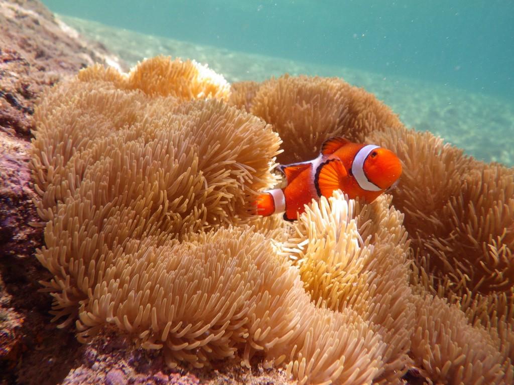 奄美の海のカクレクマノミ