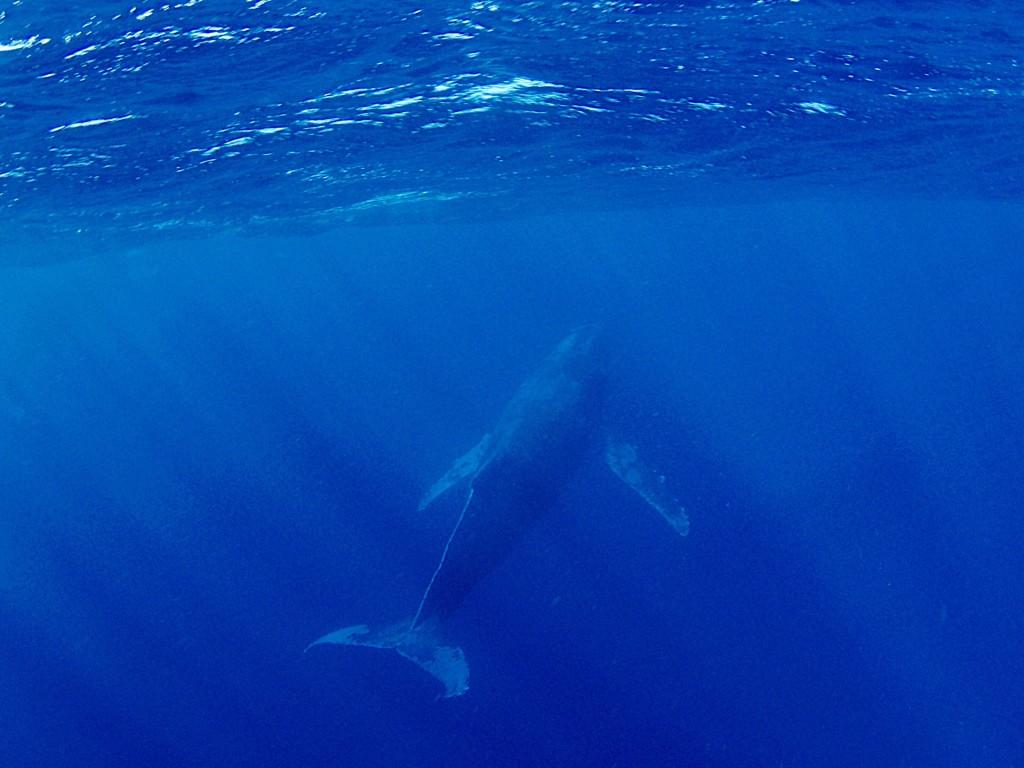 奄美大島近海を泳ぐクジラ