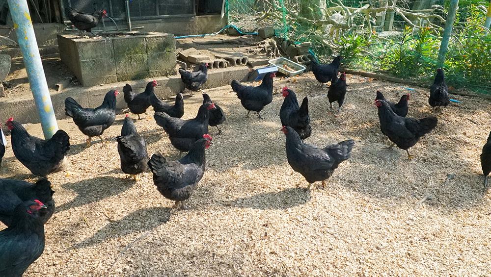 奄美大島の節子(せっこ)集落にあるロビンソンファームで飼育しているにわとり