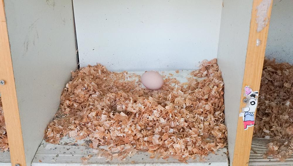 奄美大島の節子(せっこ)集落にあるロビンソンファームで飼育しているにわとりの卵