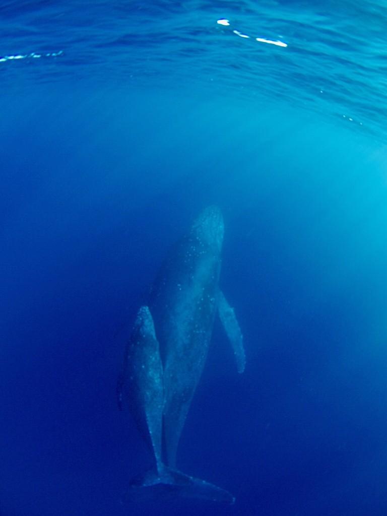 奄美大島近海を泳ぐクジラの親子
