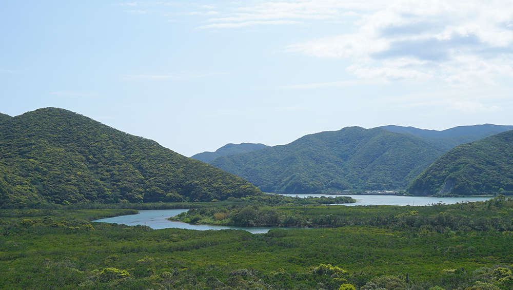 奄美住用町のマングローブ原生林