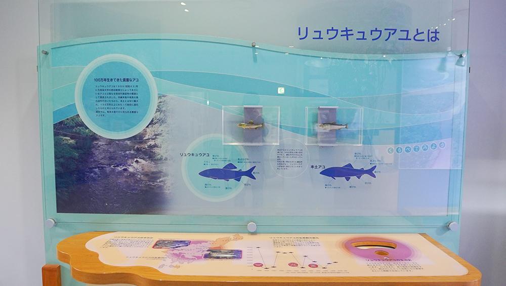 奄美大島 奄美市住用 リュウキュウアユ amami amamioshima