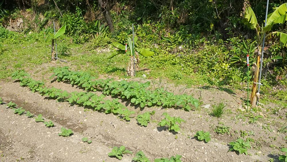 奄美大島の節子(せっこ)集落にあるロビンソンファームでの農業体験