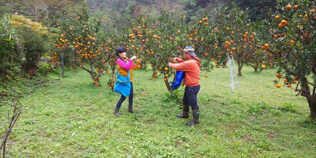 奄美大島のタンカン畑でのタンカン収穫