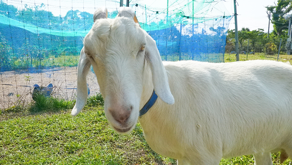 奄美大島の節子(せっこ)集落にあるロビンソンファームで飼育しているヤギ