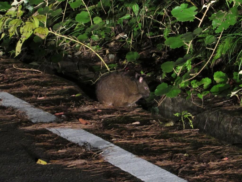 夜森から出てくるアマミノクロウサギ