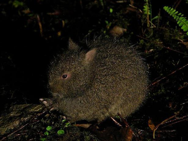国指定特別天然記念物アマミノクロウサギ