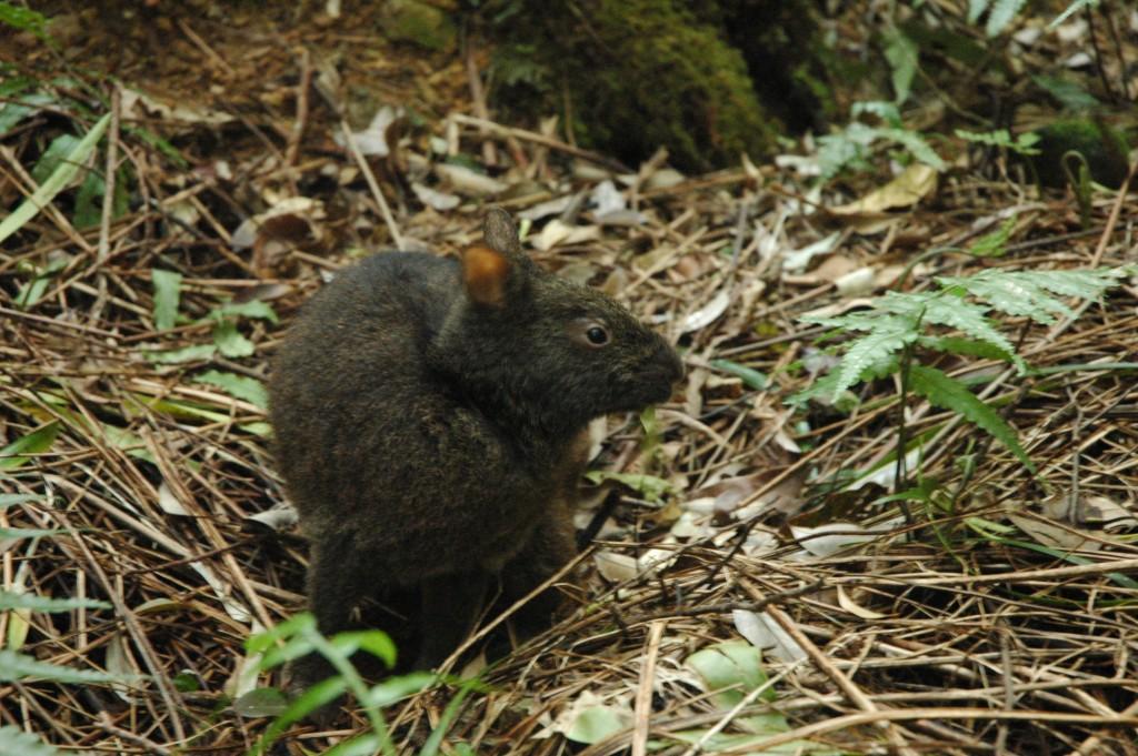 天然記念物のアマミノクロウサギ
