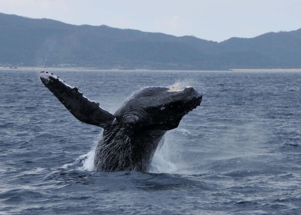 迫力あるブリーチングをするクジラ