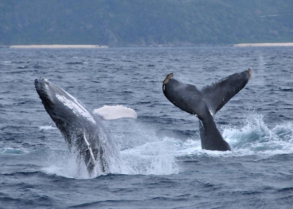 海面から飛び出す2匹のクジラ