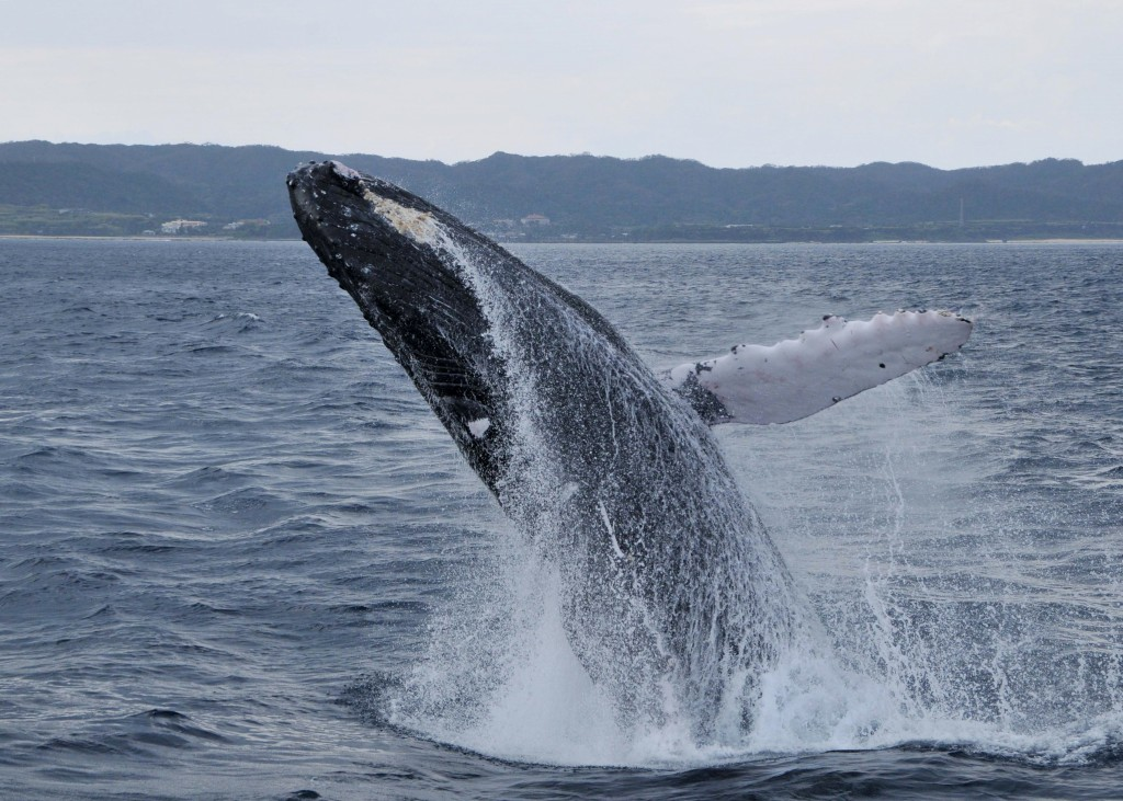 ダイナミックにジャンプするクジラ